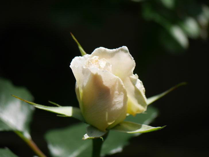 マーガレット・メリル(Margaret Merril)の花が少し咲いた。木立バラ。2021年-016.jpg