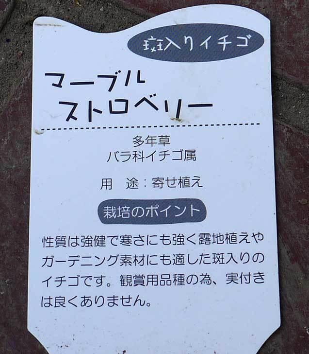 マーブルストロベリーの苗がホームズで50円だったので買って来た4.jpg