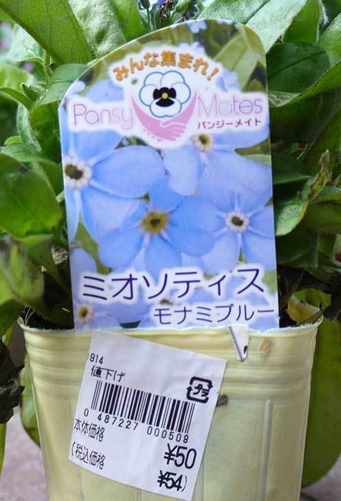 ミオソティス(ワスレナグサ) モナミブルーが50円だったので買って来た3.jpg