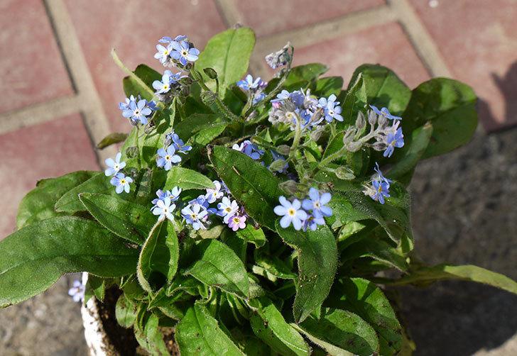 ミオソティス(ワスレナグサ) モナミブルーを鉢に植えた1.jpg