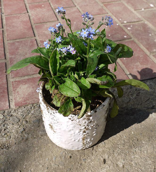 ミオソティス(ワスレナグサ) モナミブルーを鉢に植えた2.jpg