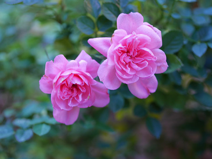 ミスピーチヒメさくらこの花がまだ咲いている。ミニバラ。2021年1月-001.jpg