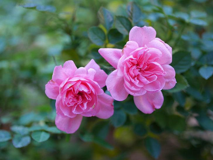 ミスピーチヒメさくらこの花がまだ咲いている。ミニバラ。2021年1月-003.jpg