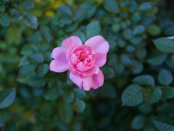 ミスピーチヒメさくらこの花がまだ咲いている。ミニバラ。2021年1月-004.jpg