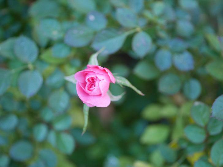 ミスピーチヒメさくらこの花がまだ咲いている。ミニバラ。2021年1月-008.jpg