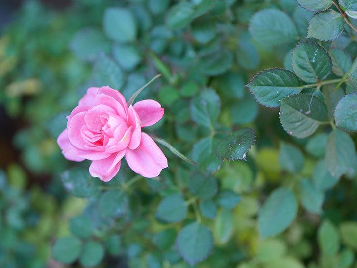 ミスピーチヒメさくらこの花がまだ咲いている。ミニバラ。2021年1月-009.jpg