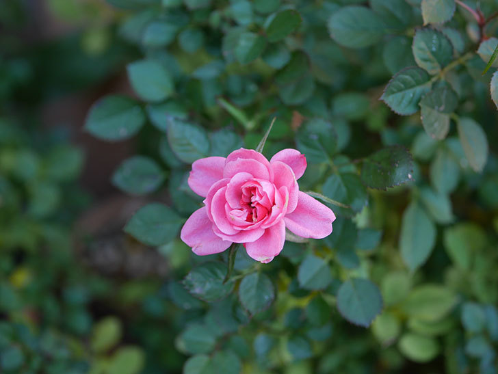 ミスピーチヒメさくらこの花がまだ咲いている。ミニバラ。2021年1月-010.jpg
