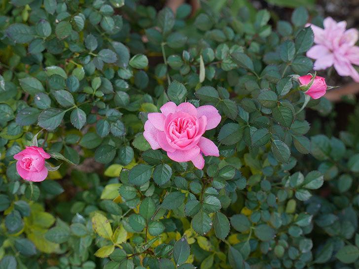 ミスピーチヒメさくらこの花がまだ咲いている。ミニバラ。2021年1月-011.jpg