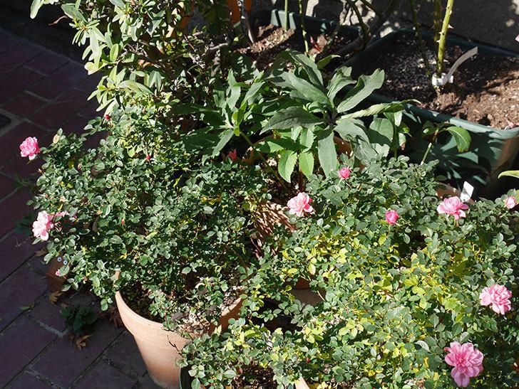 ミスピーチヒメさくらこの花がまだ咲いている。ミニバラ。2021年1月-013.jpg