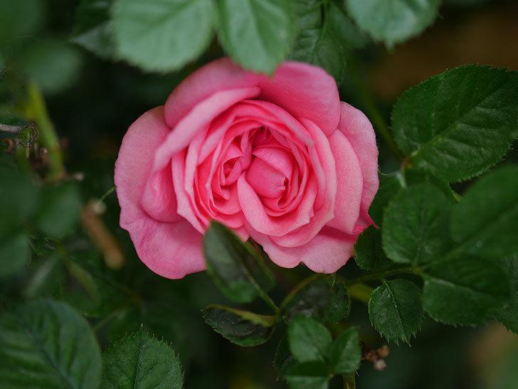 ミスピーチヒメさくらこの花が咲いた。ミニバラ。2021年-005.jpg