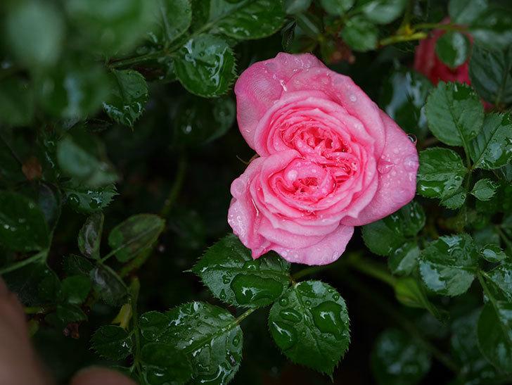 ミスピーチヒメさくらこの花が咲いた。ミニバラ。2021年-007.jpg