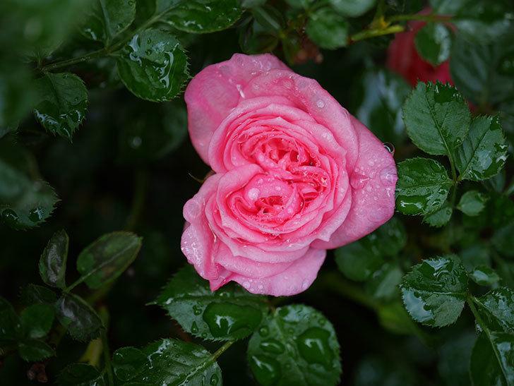 ミスピーチヒメさくらこの花が咲いた。ミニバラ。2021年-008.jpg