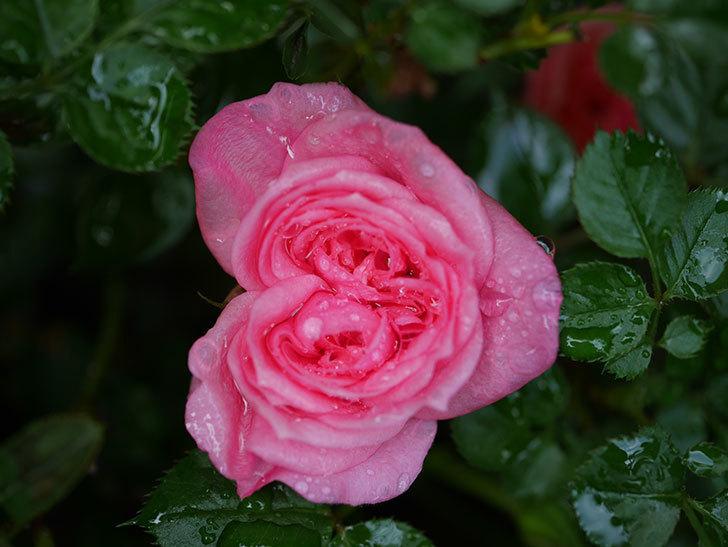 ミスピーチヒメさくらこの花が咲いた。ミニバラ。2021年-009.jpg