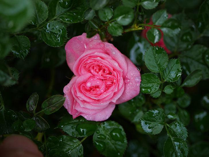 ミスピーチヒメさくらこの花が咲いた。ミニバラ。2021年-010.jpg