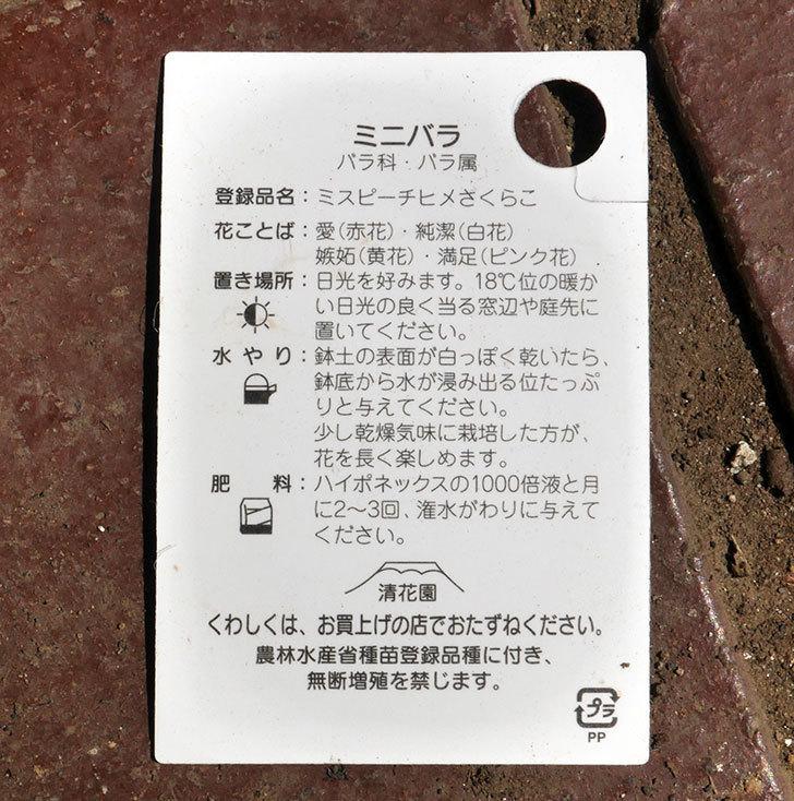 ミスピーチヒメさくらこ(ミニバラ)がホームズで200円だったので買って来た。2018年-5.jpg