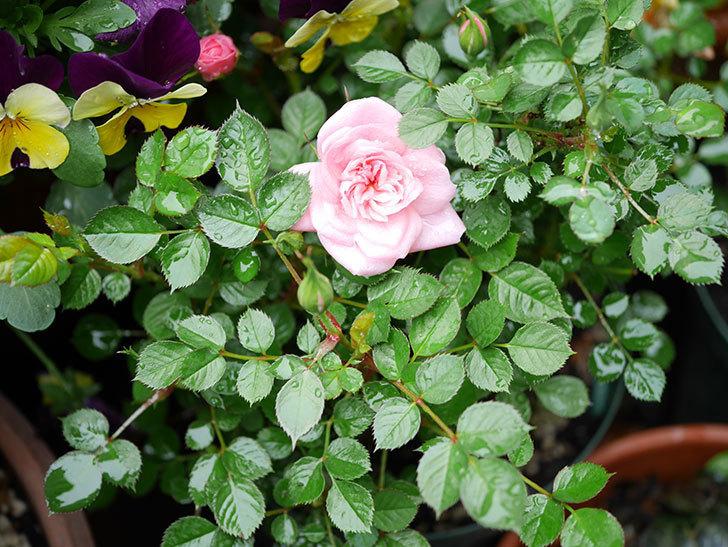 ミスピーチヒメさくらこ(ミニバラ)の花が咲いた。2019年-5.jpg