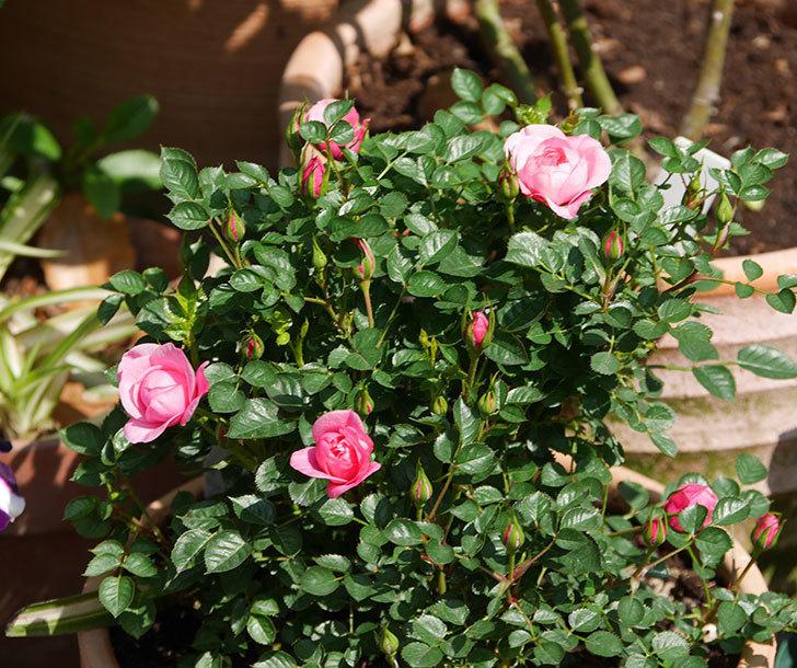 ミスピーチヒメさくらこ(ミニバラ)の花が咲いた。2020年-1.jpg