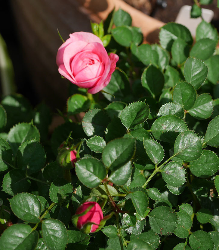 ミスピーチヒメさくらこ(ミニバラ)の花が咲いた。2020年-10.jpg