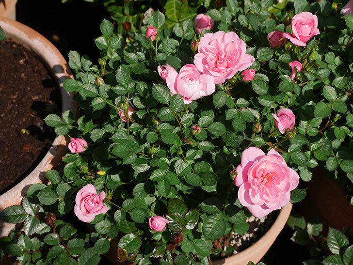 ミスピーチヒメさくらこ(ミニバラ)の花が咲いた。2020年-12.jpg
