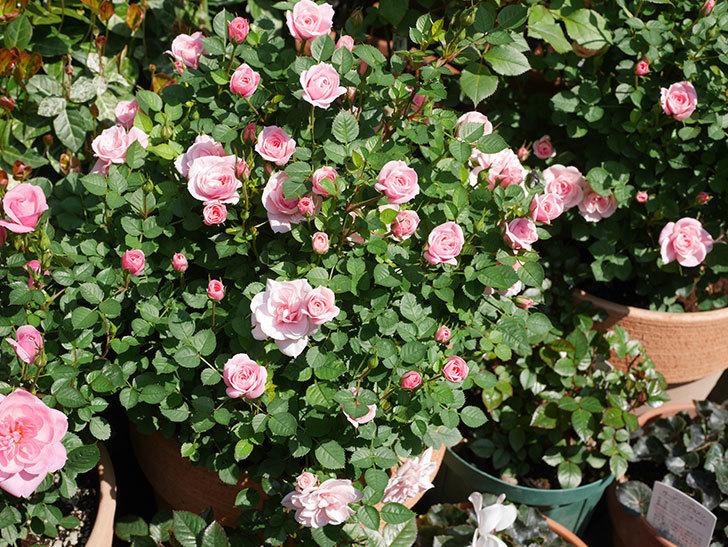 ミスピーチヒメさくらこ(ミニバラ)の花が咲いた。2020年-13.jpg