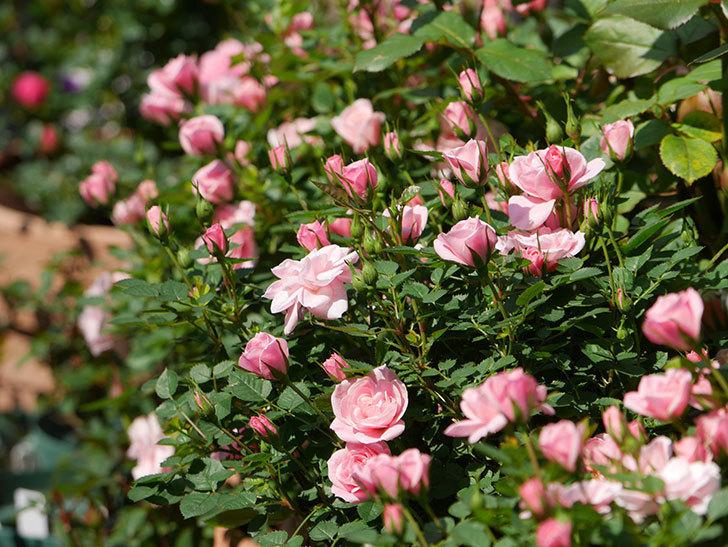 ミスピーチヒメさくらこ(ミニバラ)の花が咲いた。2020年-23.jpg