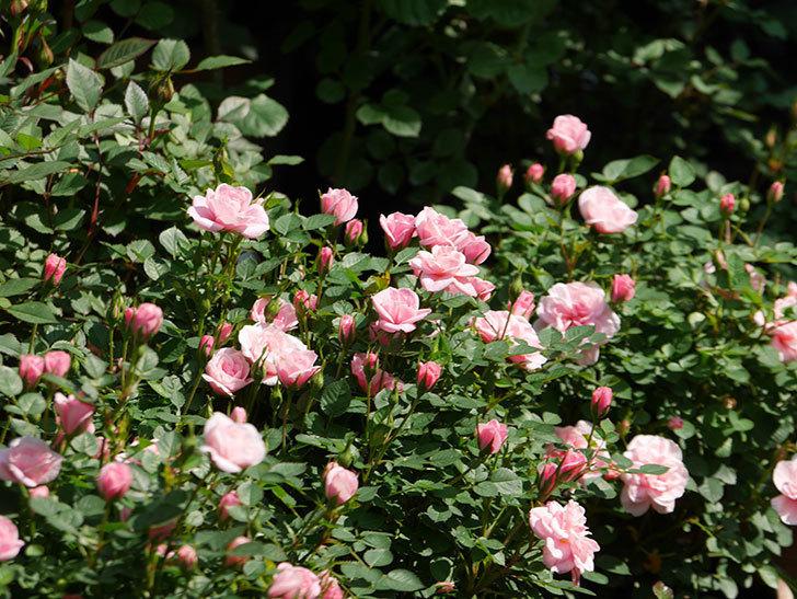 ミスピーチヒメさくらこ(ミニバラ)の花が咲いた。2020年-29.jpg