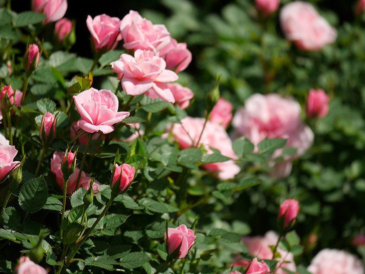ミスピーチヒメさくらこ(ミニバラ)の花が咲いた。2020年-30.jpg