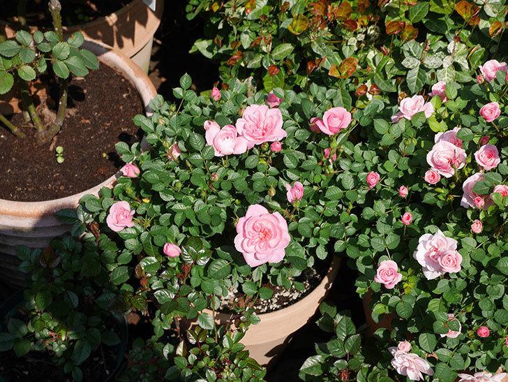 ミスピーチヒメさくらこ(ミニバラ)の花が咲いた。2020年-5.jpg