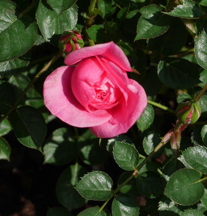 ミスピーチヒメさくらこ(ミニバラ)の花が咲いた。2020年-9.jpg