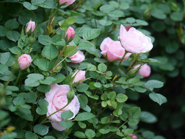 ミスピーチヒメさくらこ(ミニバラ)の花が咲きだした。2020年-10.jpg