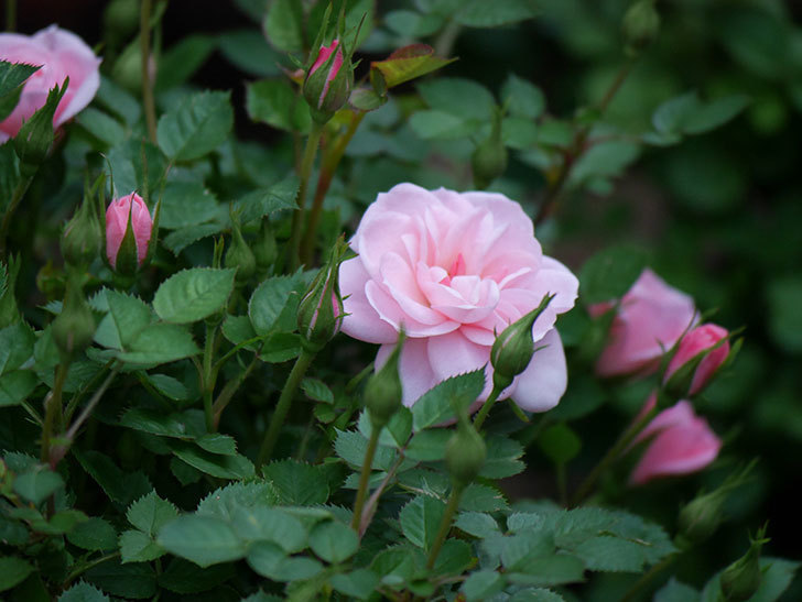 ミスピーチヒメさくらこ(ミニバラ)の花が咲きだした。2020年-12.jpg