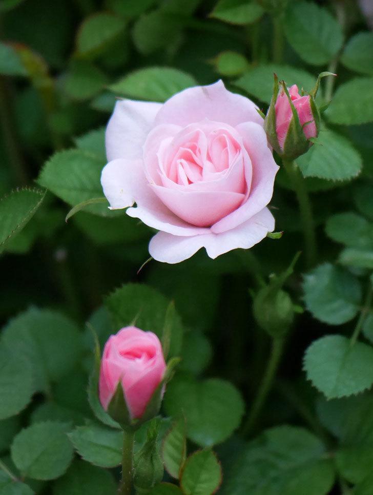 ミスピーチヒメさくらこ(ミニバラ)の花が咲きだした。2020年-14.jpg