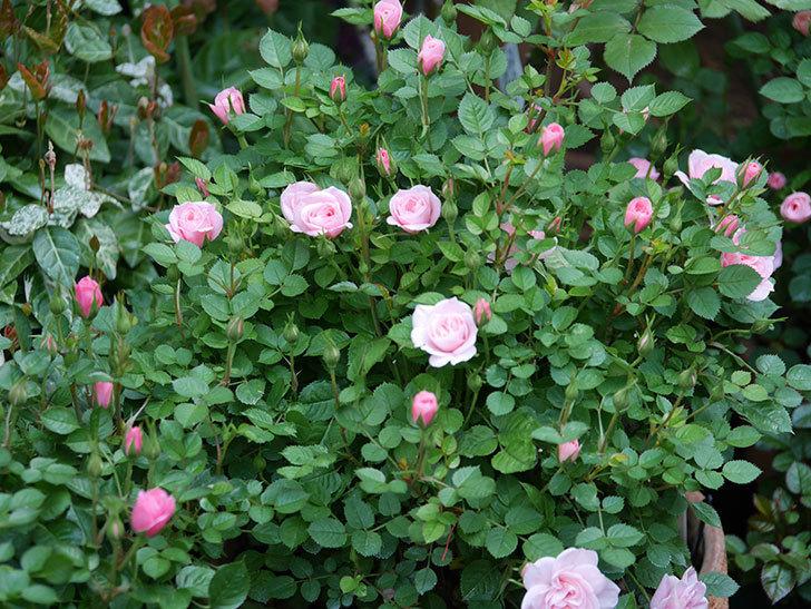 ミスピーチヒメさくらこ(ミニバラ)の花が咲きだした。2020年-15.jpg