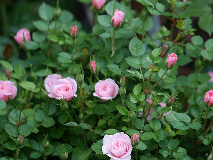 ミスピーチヒメさくらこ(ミニバラ)の花が咲きだした。2020年-16.jpg