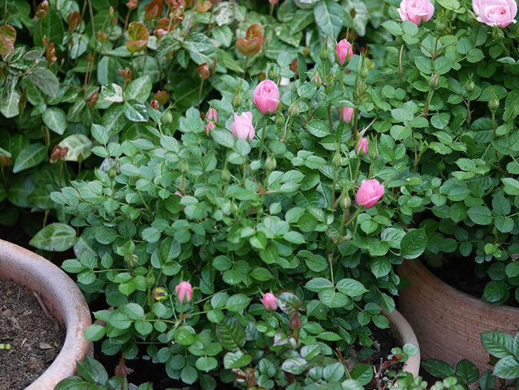 ミスピーチヒメさくらこ(ミニバラ)の花が咲きだした。2020年-4.jpg