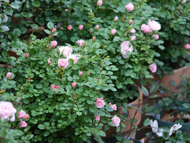 ミスピーチヒメさくらこ(ミニバラ)の花が咲きだした。2020年-8.jpg