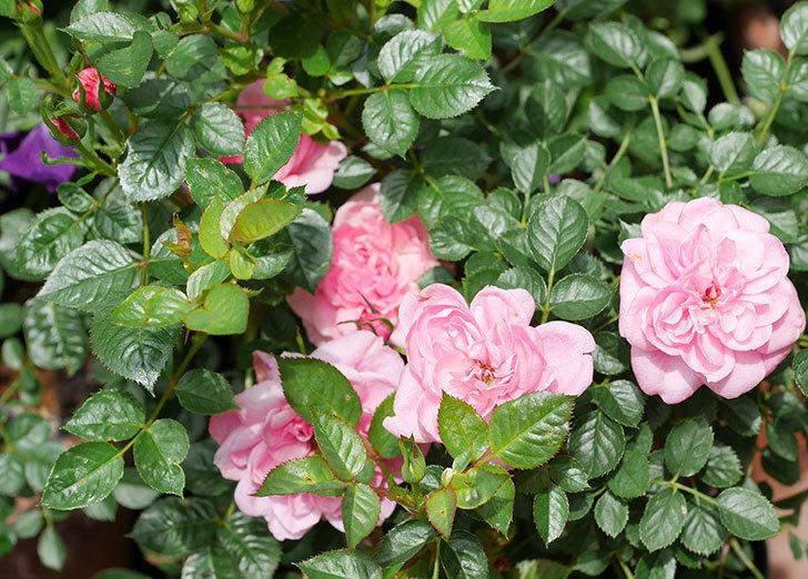ミスピーチヒメさくらこ(ミニバラ)の花が増えた来た。2019年-2.jpg