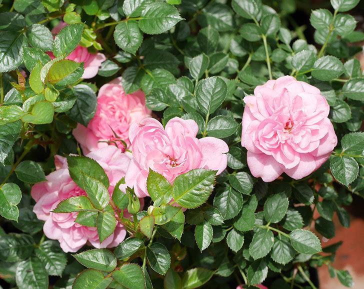 ミスピーチヒメさくらこ(ミニバラ)の花が増えた来た。2019年-3.jpg