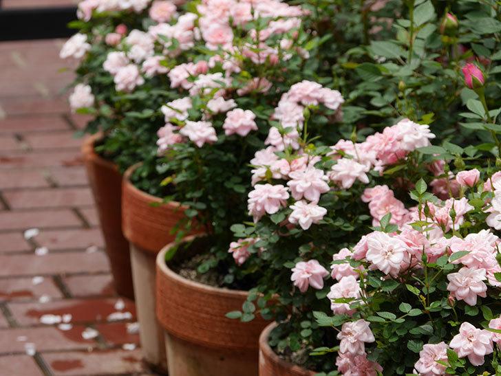 ミスピーチヒメさくらこ(ミニバラ)の花が増えた来た。2019年-5.jpg