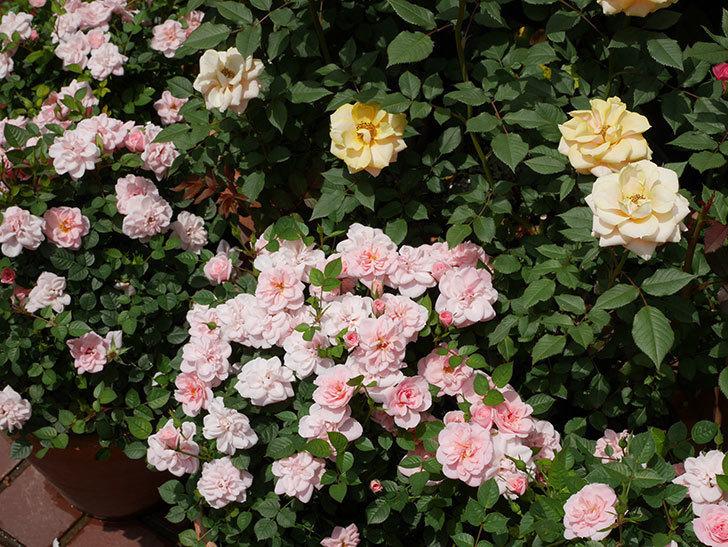 ミスピーチヒメさくらこ(ミニバラ)の花が増えた来た。2019年-6.jpg
