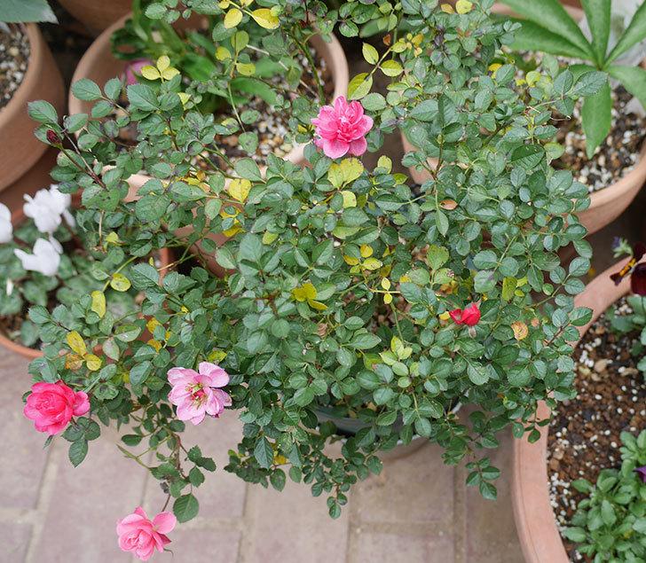 ミスピーチヒメさくらこ(ミニバラ)の花の色が濃くなってきた。2020年-3.jpg