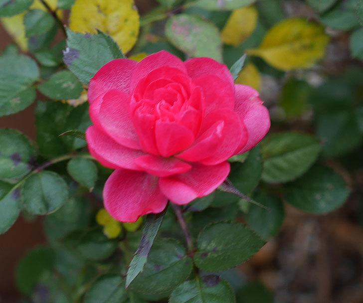 ミスピーチヒメさくらこ(ミニバラ)の花の色が濃くなってきた。2020年-4.jpg