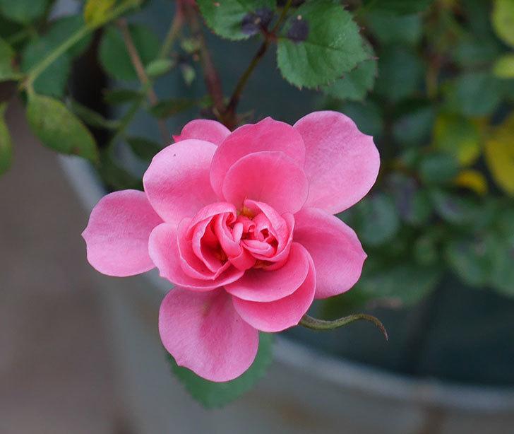 ミスピーチヒメさくらこ(ミニバラ)の花の色が濃くなってきた。2020年-5.jpg