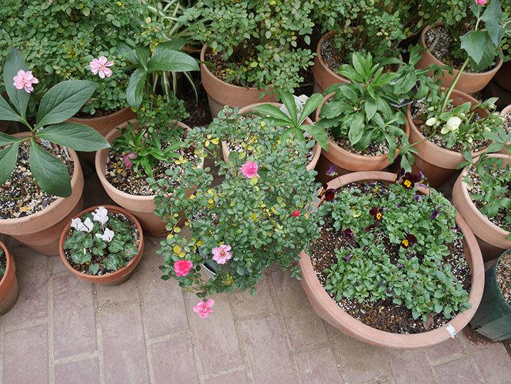 ミスピーチヒメさくらこ(ミニバラ)の花の色が濃くなってきた。2020年-6.jpg