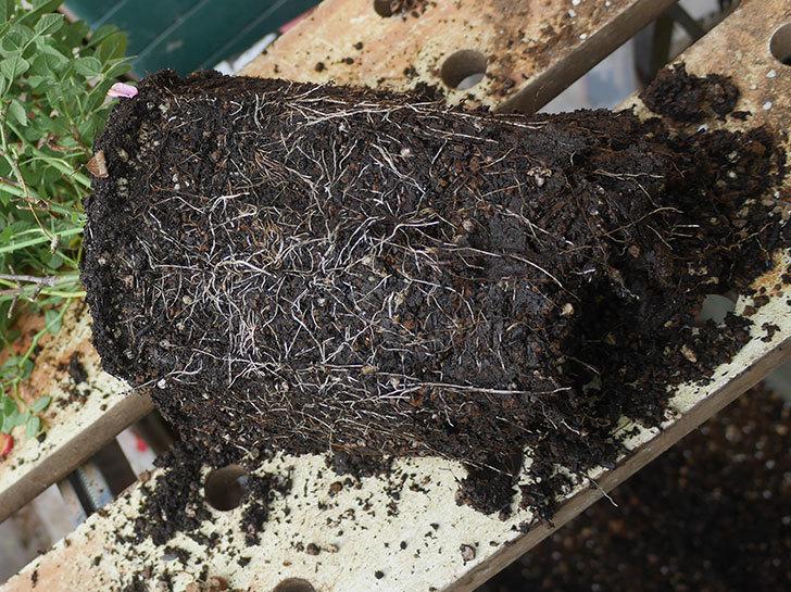 ミスピーチヒメさくらこ(ミニバラ)を6号ロングスリット鉢に鉢増しした。2019年-5.jpg