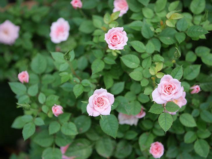 ミスピーチ姫(Miss Peach-hime)の2番花が咲いた。ミニバラ。2020年-001.jpg