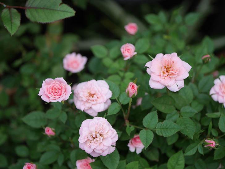 ミスピーチ姫(Miss Peach-hime)の2番花が咲いた。ミニバラ。2020年-002.jpg