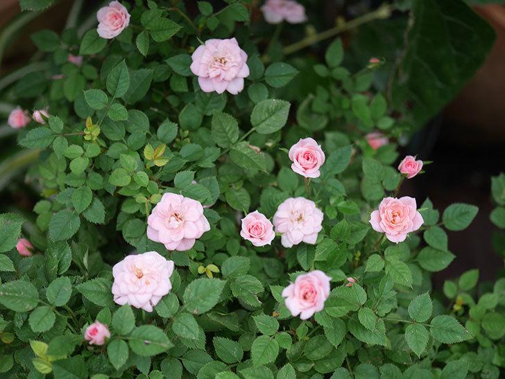 ミスピーチ姫(Miss Peach-hime)の2番花が咲いた。ミニバラ。2020年-003.jpg