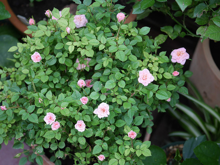 ミスピーチ姫(Miss Peach-hime)の2番花が咲いた。ミニバラ。2020年-004.jpg