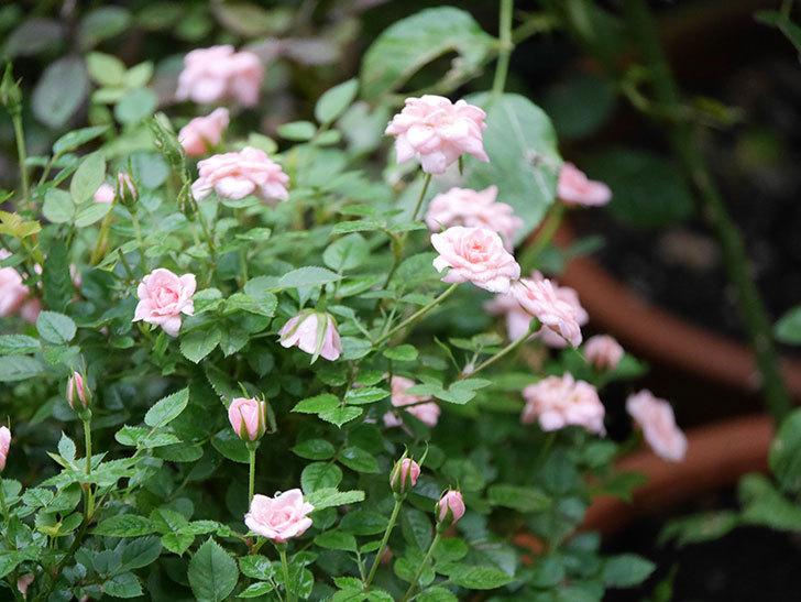 ミスピーチ姫(Miss Peach-hime)の2番花が咲いた。ミニバラ。2020年-005.jpg
